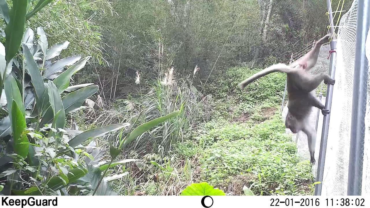 台灣彌猴攀爬碰觸電網後,迅速轉身逃離。 圖/東海大學生命科學系提供