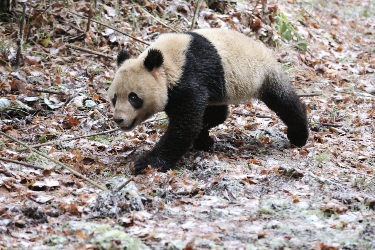 大熊貓成功回歸自然 新華社