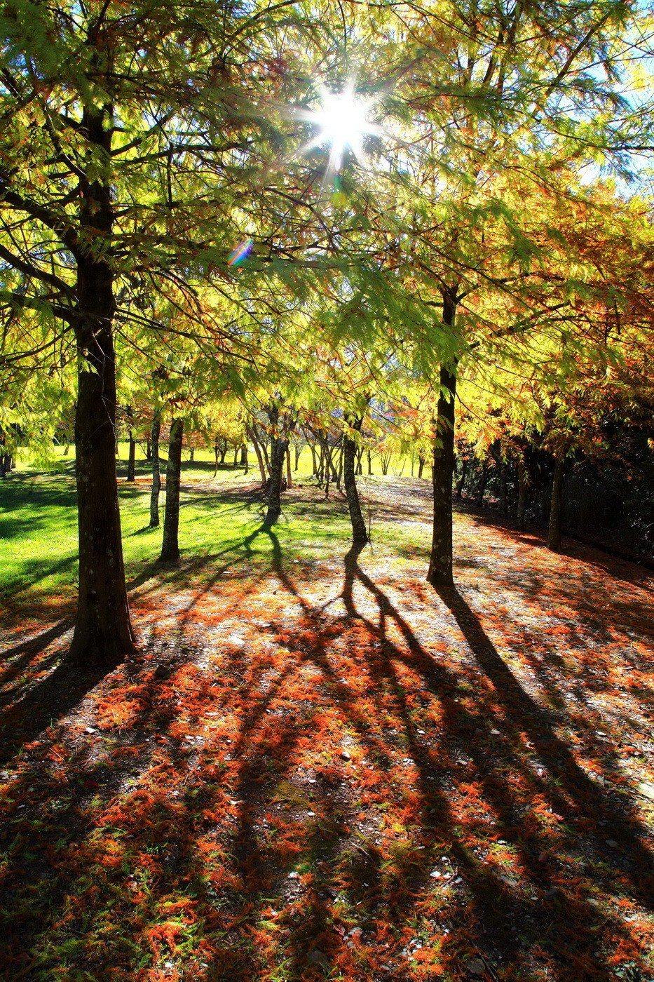 奧萬大國家森林遊樂區內楓葉陸續變色轉紅,還有豐富鳥類可賞。 南投林管處/提供