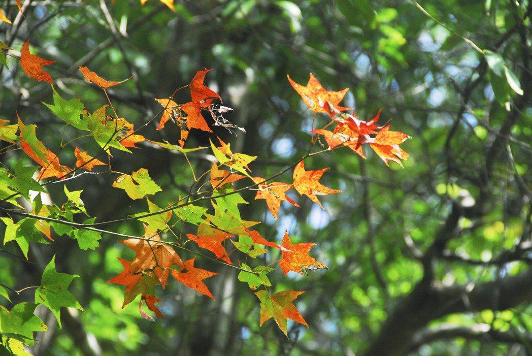 大農大富平地森林園區森林楓香。 林務局/提供