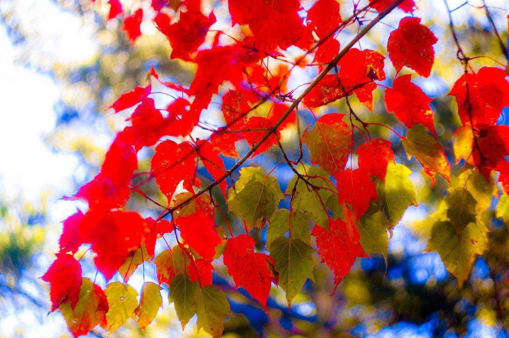 大雪山楓紅。 林務局/提供