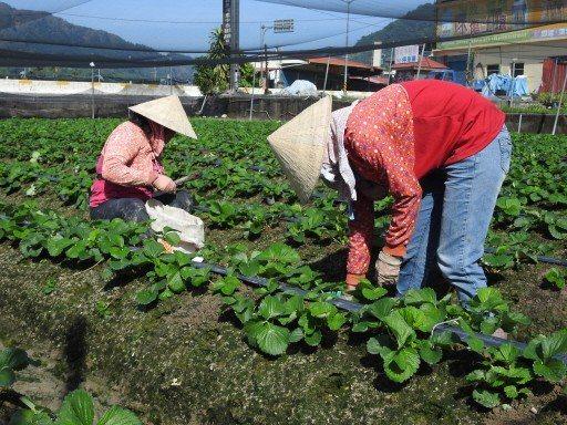 農民擔心一旦遷戶籍,恐喪失農保。 本報資料照片