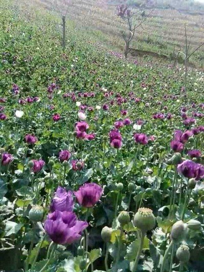 孤軍二代楊斌回憶幼年時期,金三角滿山遍種植罌粟。 圖/楊斌提供