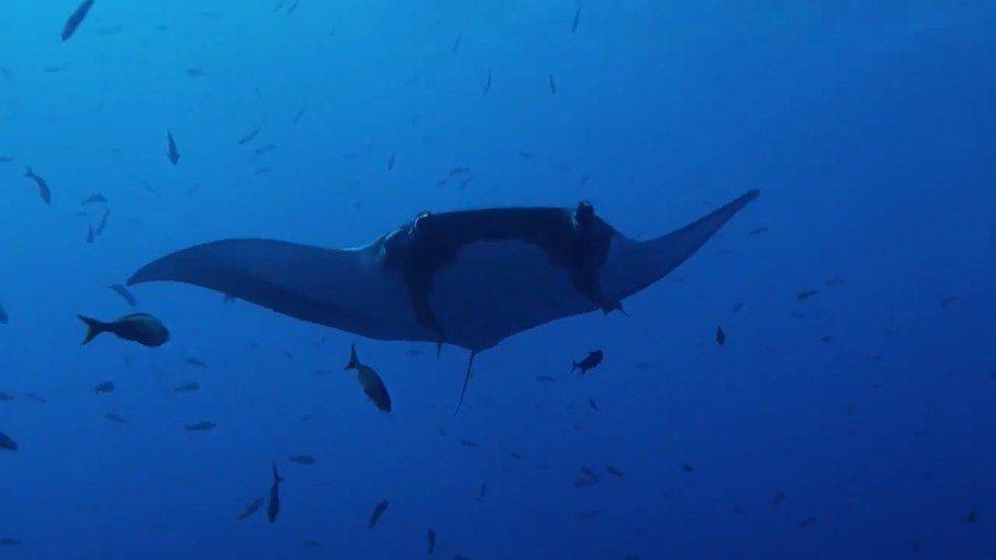 圖說:雷維利亞希赫多群島以豐富的海洋資源聞名,其中鬼蝠魟更可長到7公尺寬。 (p...