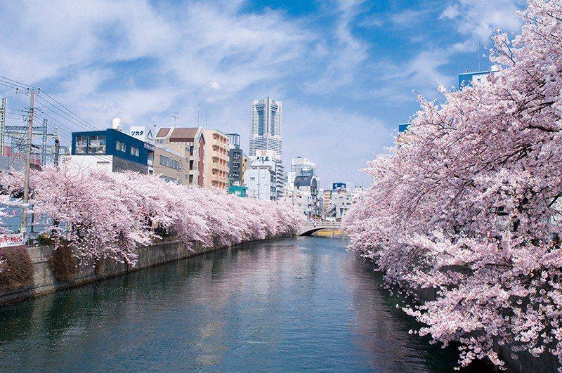 每年4月都會舉行「大岡川櫻花祭」,除了可沉醉於漫天粉紅的景色,兩旁更設置攤販販售...