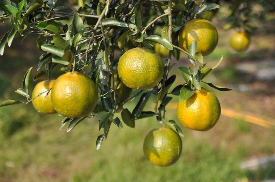 青皮椪柑產進入盛產期。農委會農糧署/提供