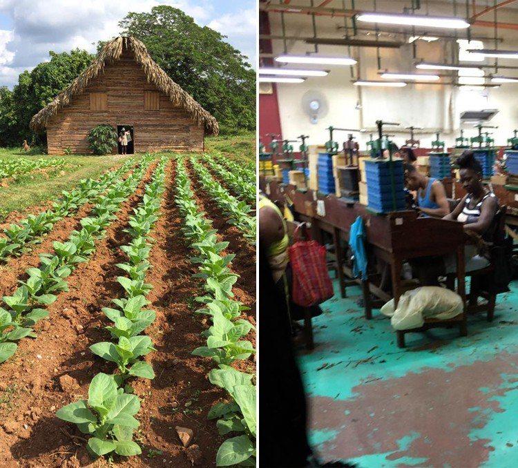 雪茄產業為古巴最重要的支柱產業,右圖為雪茄工廠生產線上員工作業情形。 圖擷自謝金...