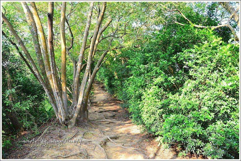 ↑過鳳崎小舖之後有一段相思林土徑。