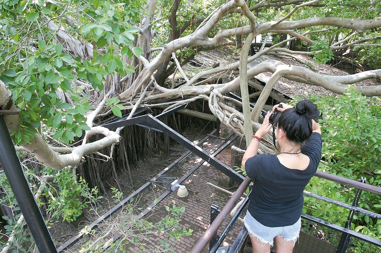 從二樓俯瞰安平樹屋,更可一覽樹木依建築而生的奇景。