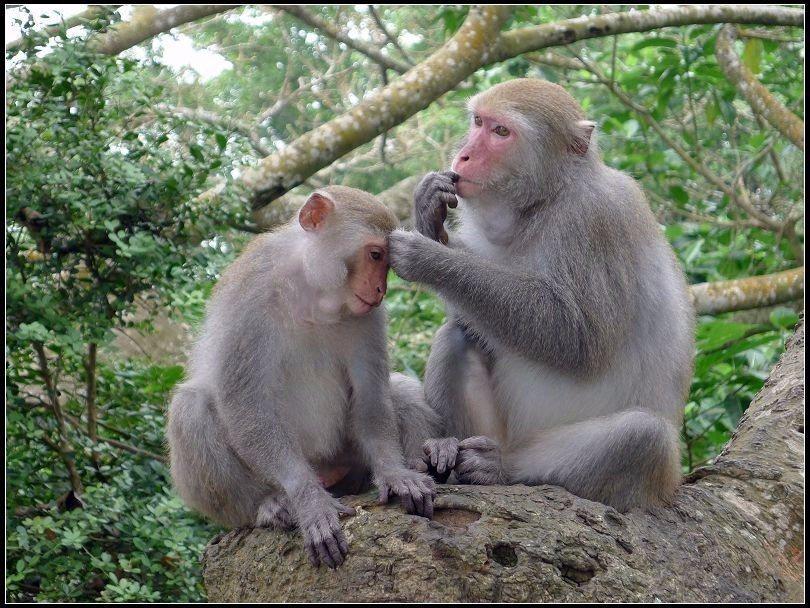別看柴山獼猴很可愛,牠們可是會和人搶食物的唷!(Flickr授權作者-Olive...