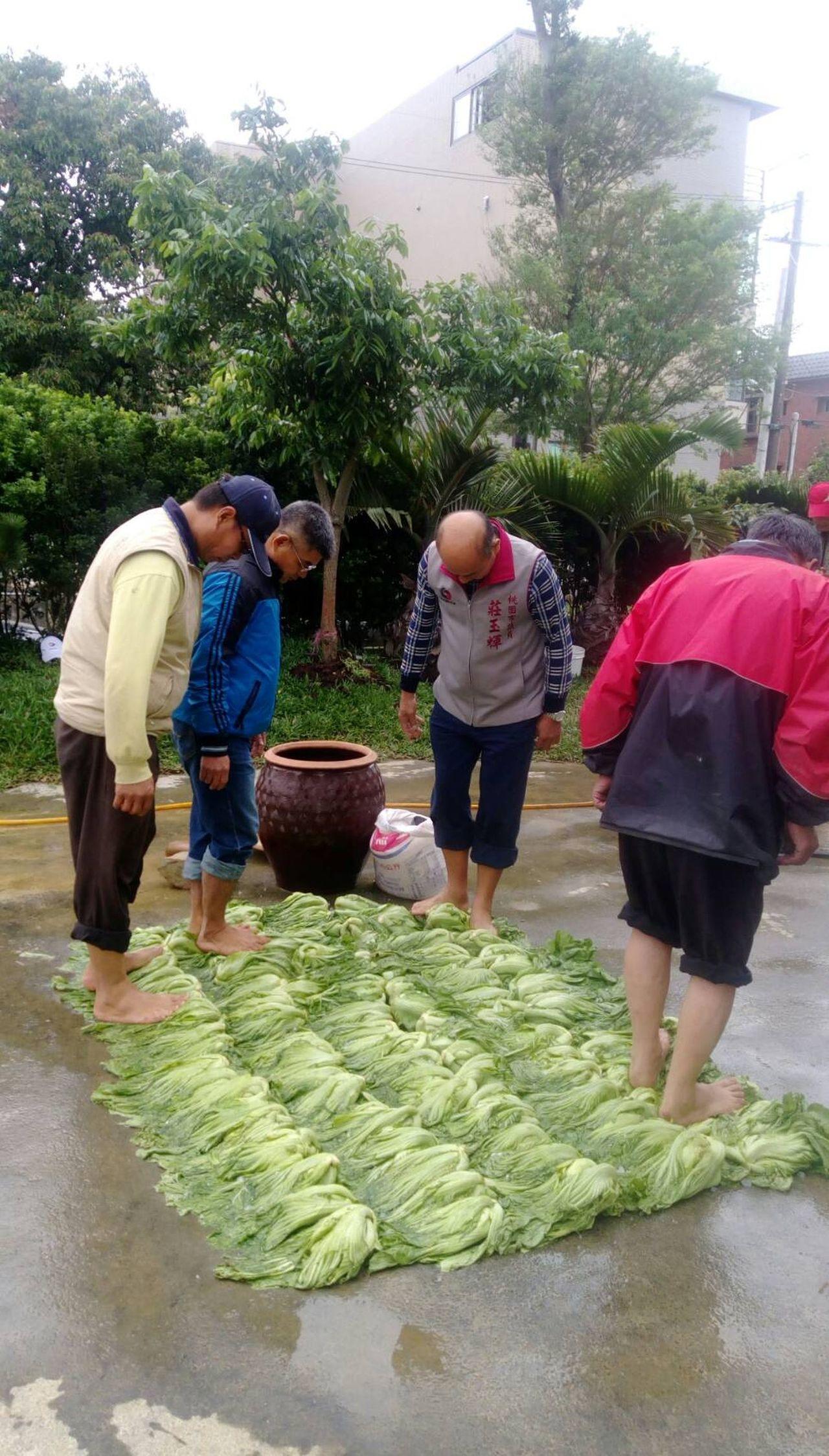 平鎮區農會將舉辦千人腳踩醃製客家酸菜活動,活動前邀有經驗農民,試作客家酸菜。圖/...