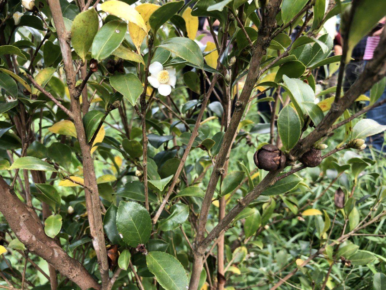 宜蘭縣冬山鄉4年前開始推廣種植苦茶,近來正好搭上苦茶油風潮,公所和花蓮農改場合作...