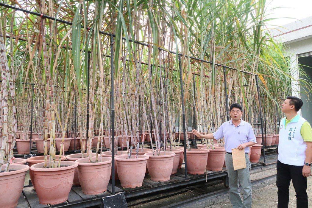 屏東縣萬丹擁有全台唯一甘蔗育種場,場內保有一千多種甘蔗品種。記者翁禎霞/攝影