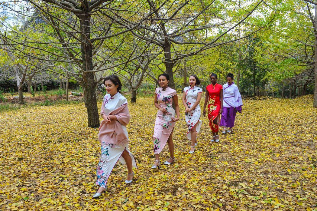 外國留學生身著中國傳統旗袍,在金色銀杏林走秀。 中新社