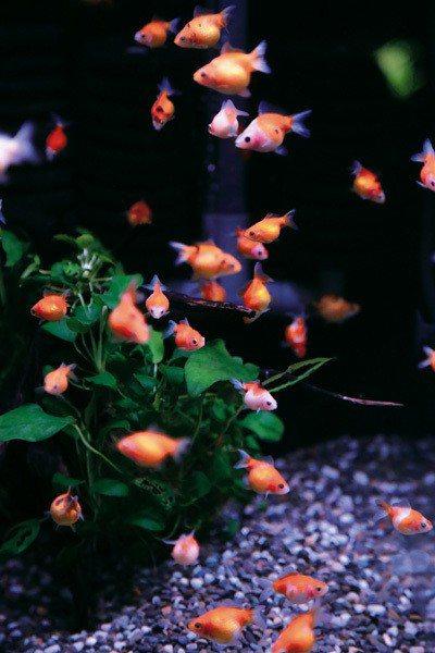張榮哲說,觀賞魚是需要被用心對待的「寵物」,而非取悅人的「玩物」。