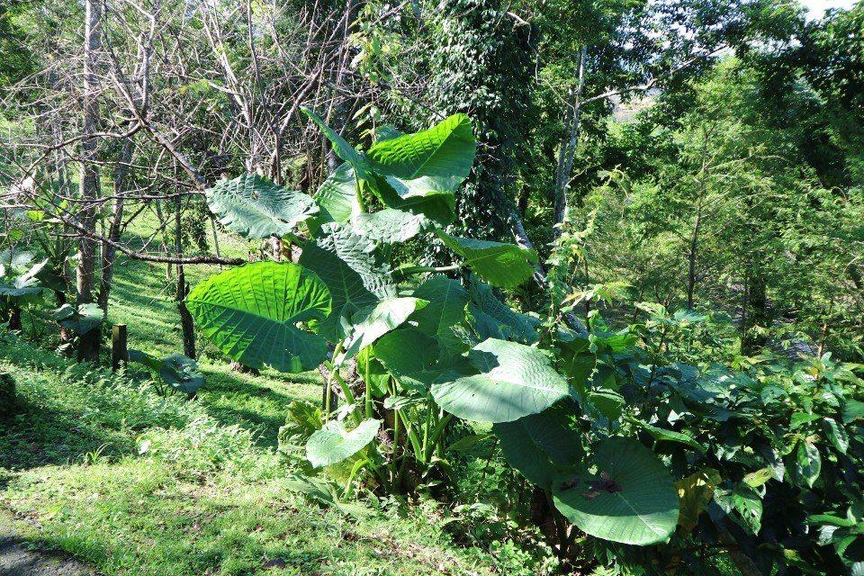 沿途會看到種類豐富的植物,像是姑婆芋、香楠木、蓮霧樹等。(攝影/周惠儀)