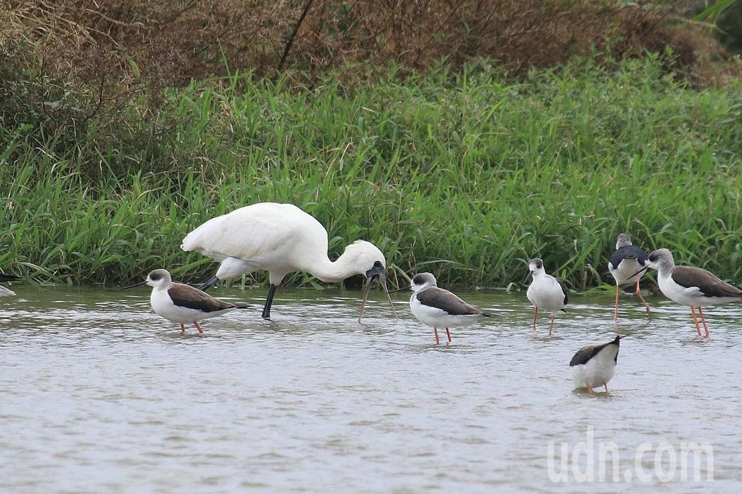 示意圖,黑面琵鷺覓食。 聯合報系資料照/記者曾健祐攝影