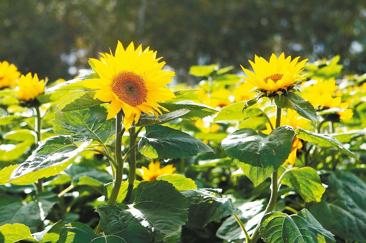 巴掌大的向日葵,為花田添上艷黃色彩。 記者陳睿中/攝影