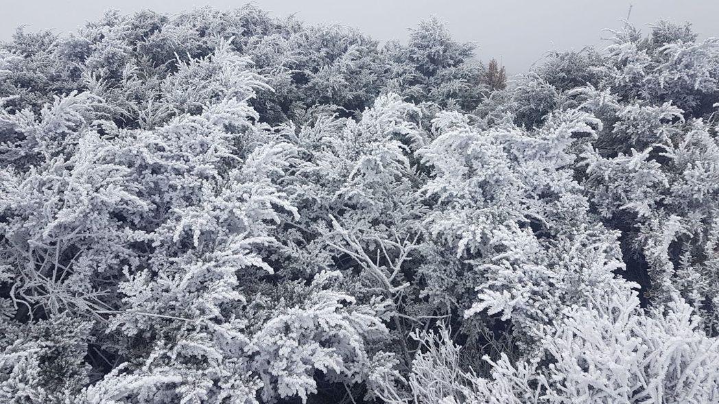 玉山昨雖未降雪,但觀測站外的植物因低溫而結滿純白霧淞。圖/中央氣象局提供