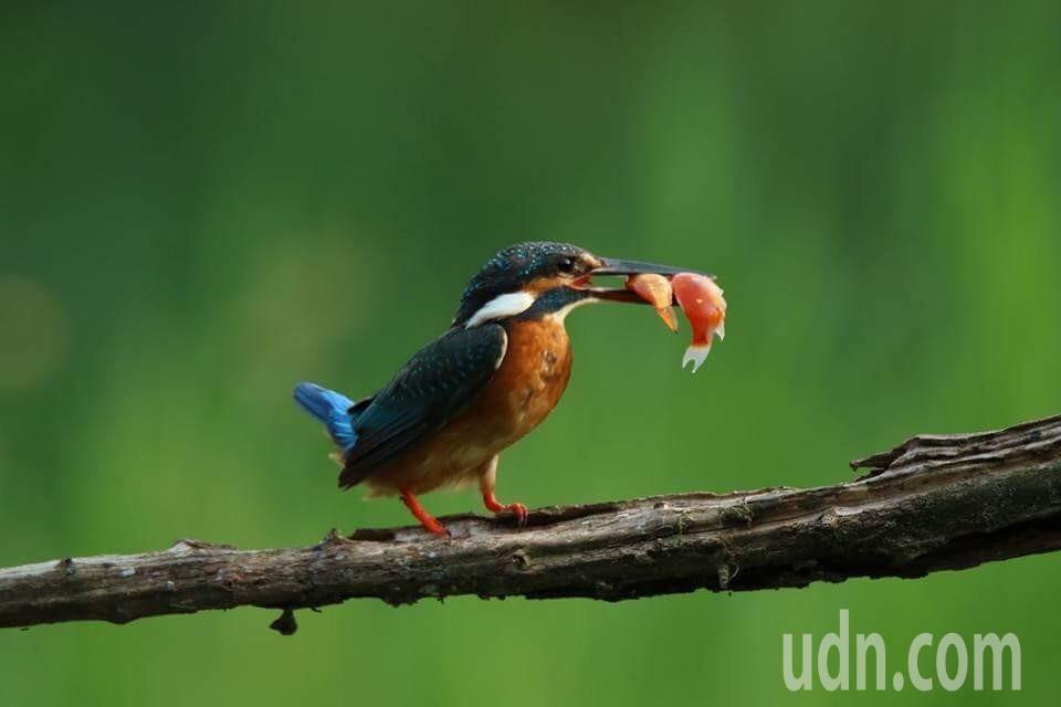 楊子誼鳥類攝影饒作品。圖/楊子誼提供