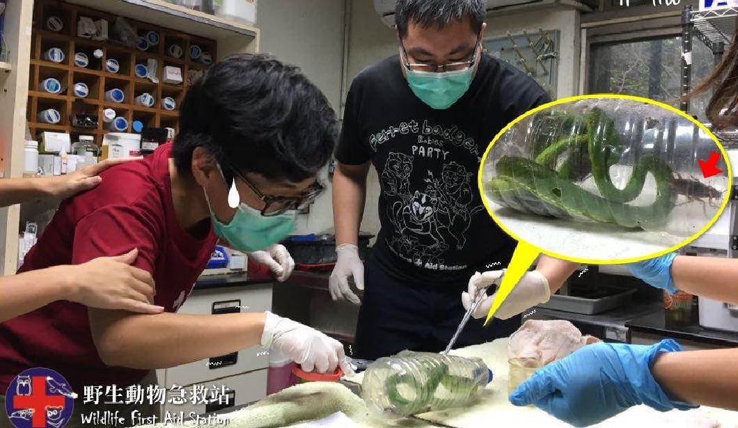 野生動物急救站獸醫團隊七手八腳的援救被困在寶特瓶內的赤尾青竹絲。圖/野生動物急救...