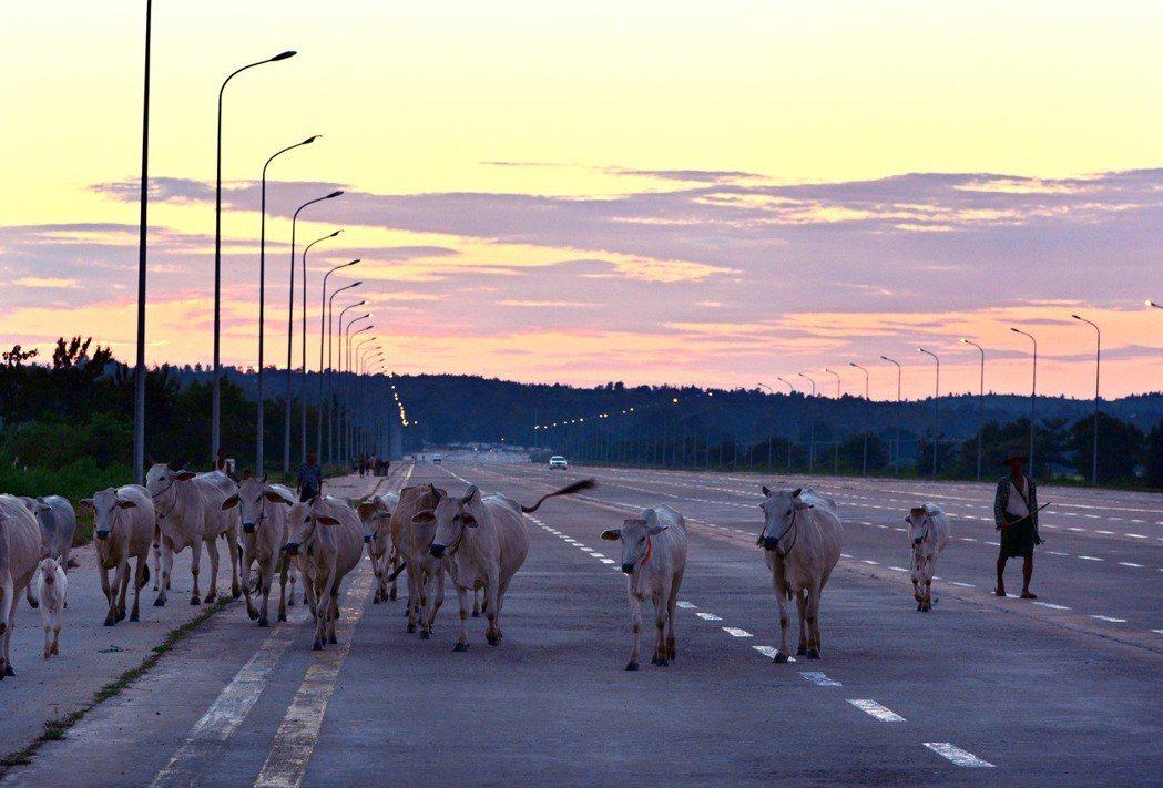 緬甸首都奈比多人煙稀少,十線道大馬路上牛比車多。 美聯社