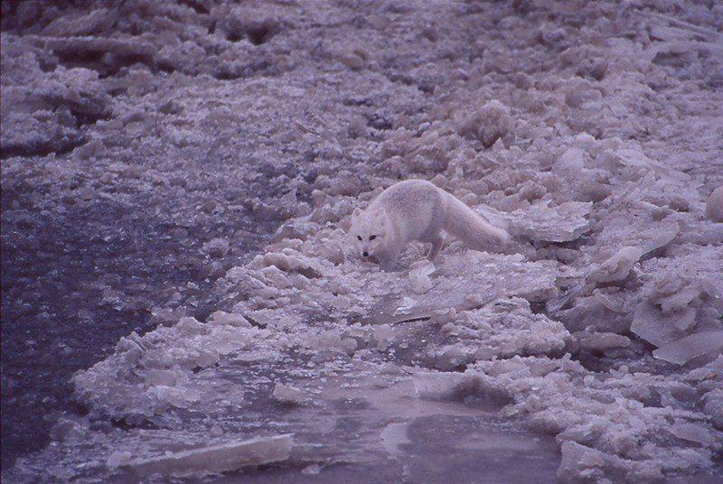 北極狐的特性喜歡跟在北極熊身後,北極熊若有吃剩的食物,北極狐馬上撿拾來吃。