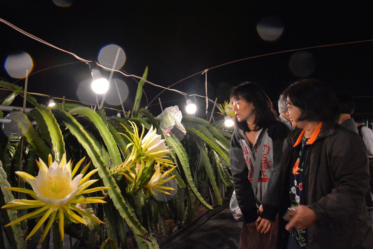 台南市「陳爸白頭翁果園」昨晚邀請民眾欣賞盛開的火龍果花。記者吳淑玲/攝影