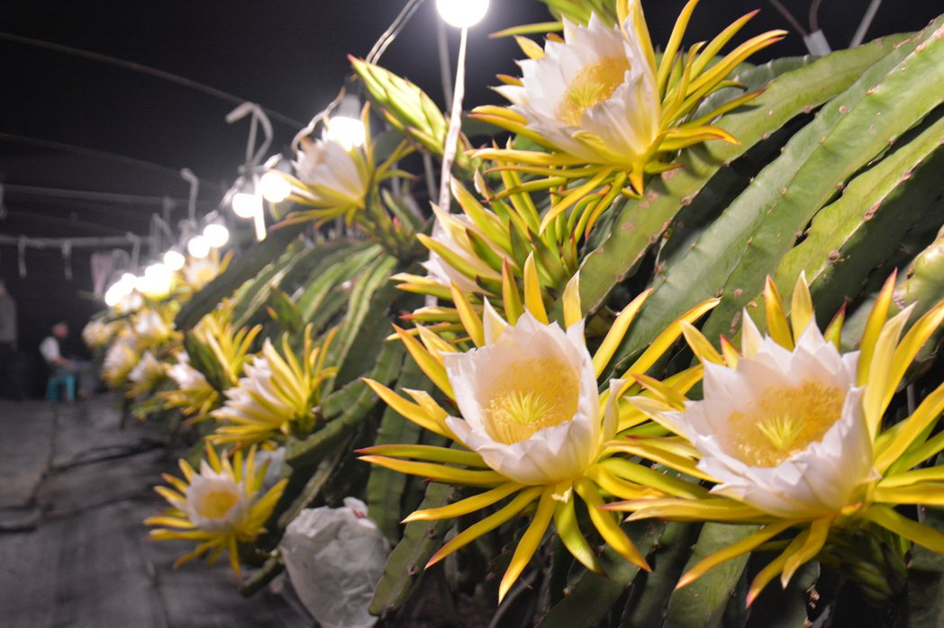 台南市「陳爸白頭翁果園」以燈照調節火龍果花期,昨晚約2000朵同時盛開,令人驚艷...