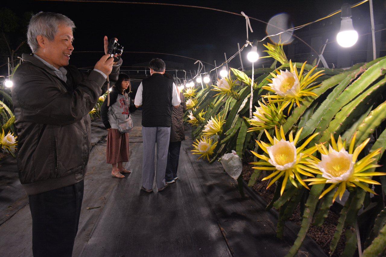 台南市「陳爸白頭翁果園」火龍果花昨晚盛開,賞花民眾拿出相機拍下美麗的一刻。記者吳...