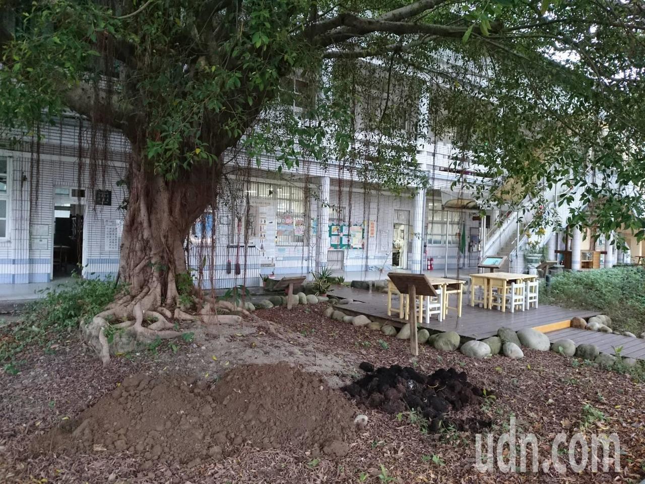 桃園市大溪區內柵國小為保護百年老樹,將過去周圍花台拆除,解放樹根生長範圍。記者許...