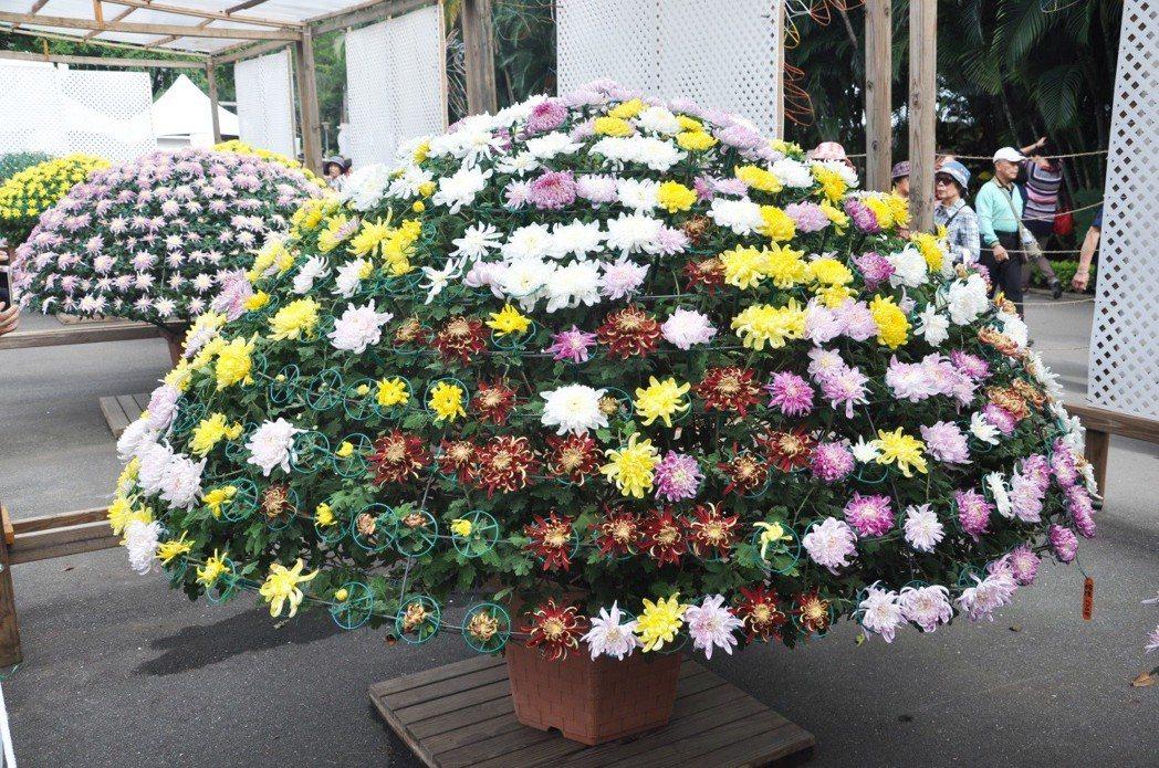 「2017士林官邸菊展」有萬朵菊花供欣賞。 圖/北市公園處提供