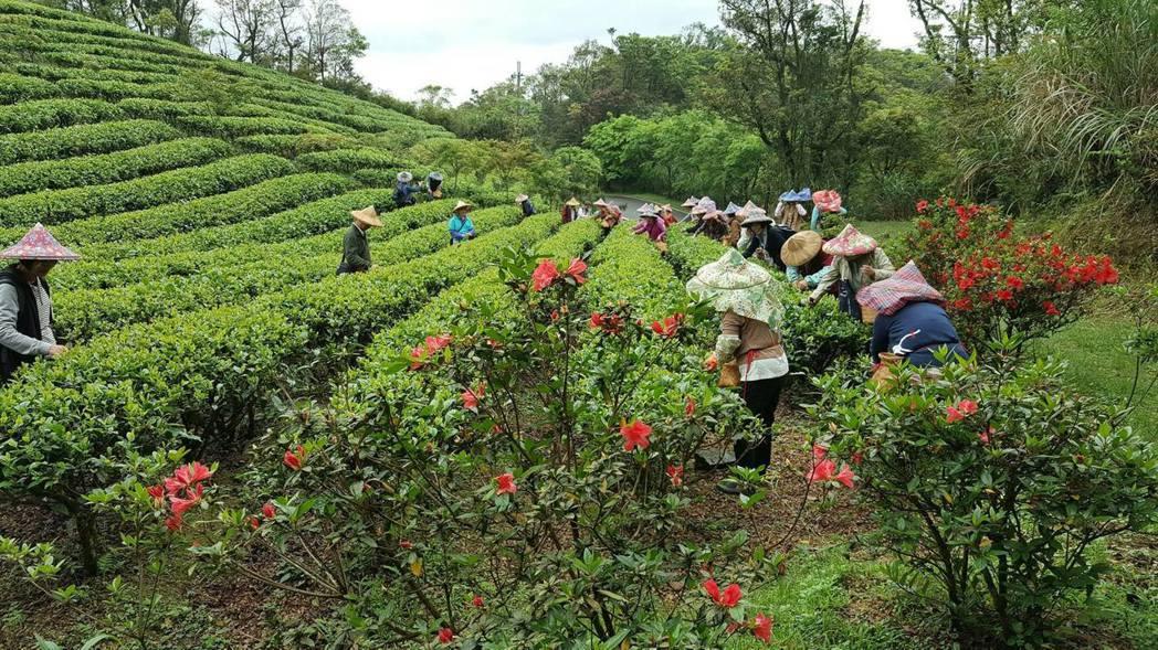 新北市坪林區的綠光農園是友善農園,能體驗採茶和古法製茶技術。圖/綠光農園提供