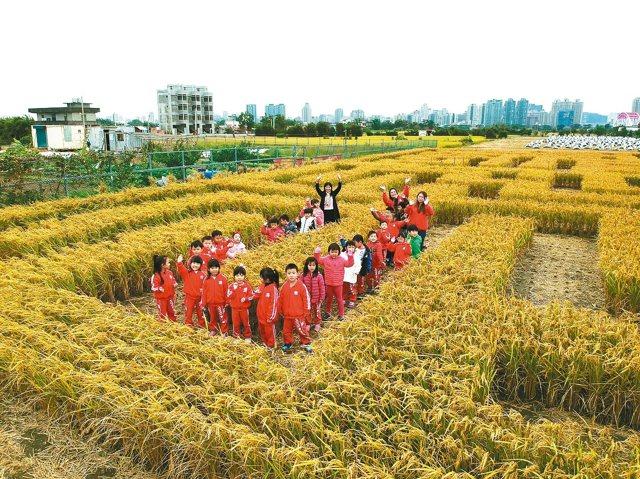巨型稻田迷宮本周六日登場,大小朋友可以穿梭在稻浪中,體驗捉迷藏。