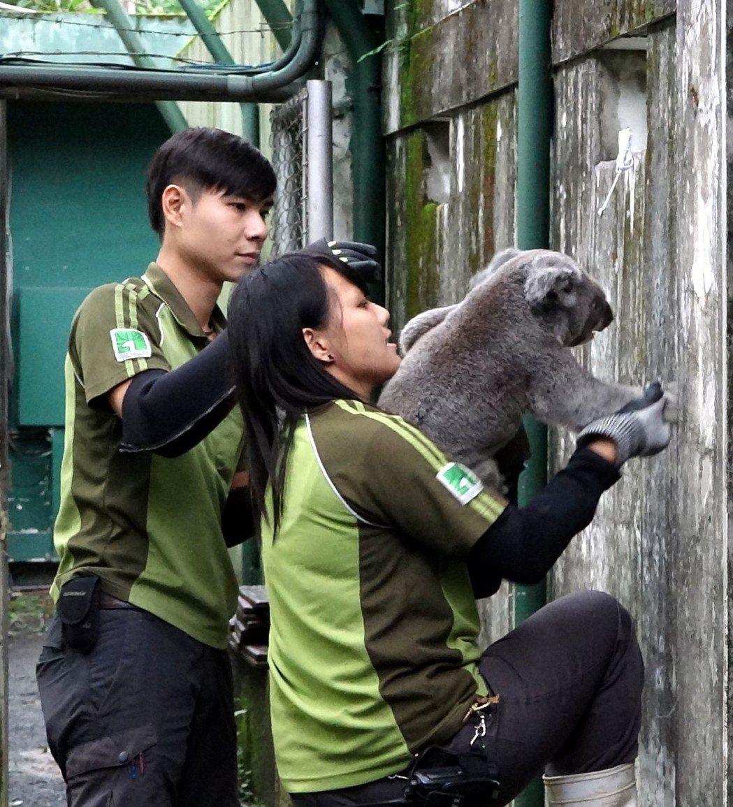 保育員總算順利將無尾熊「Q仔」送回家。