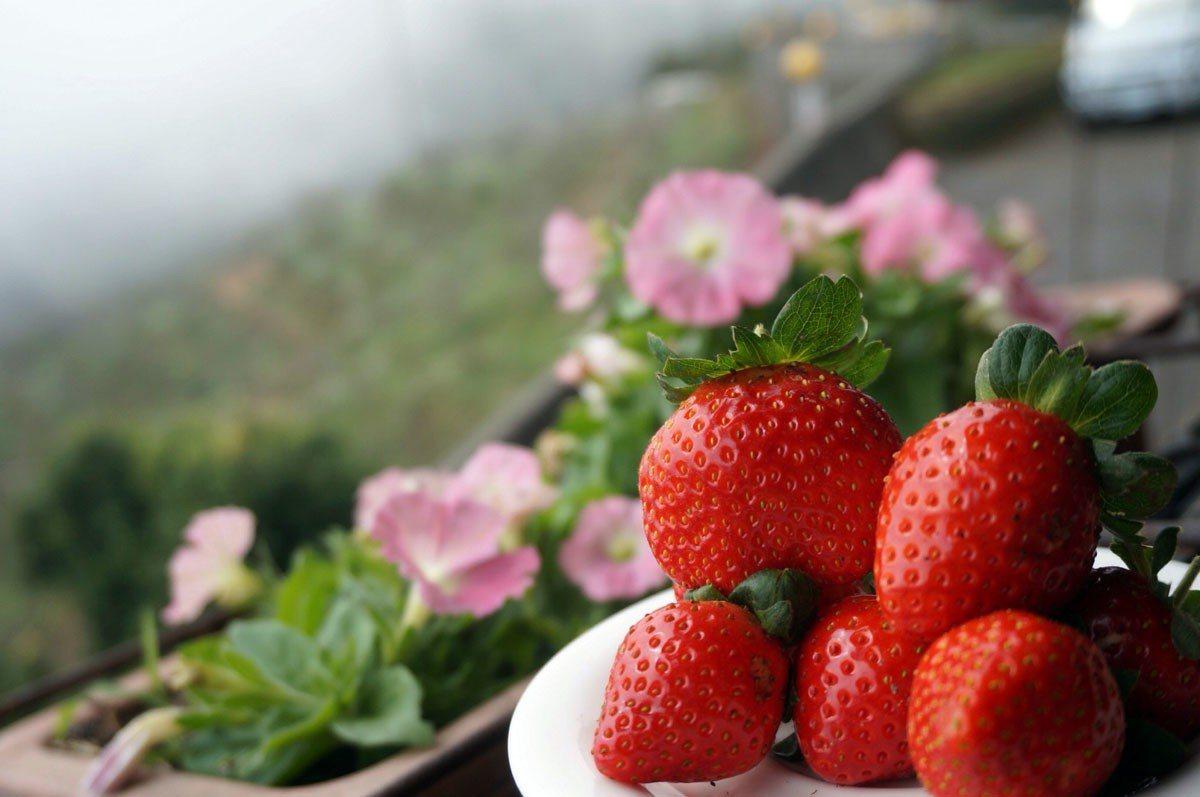 2017年冬季草莓出爐,開放採果。