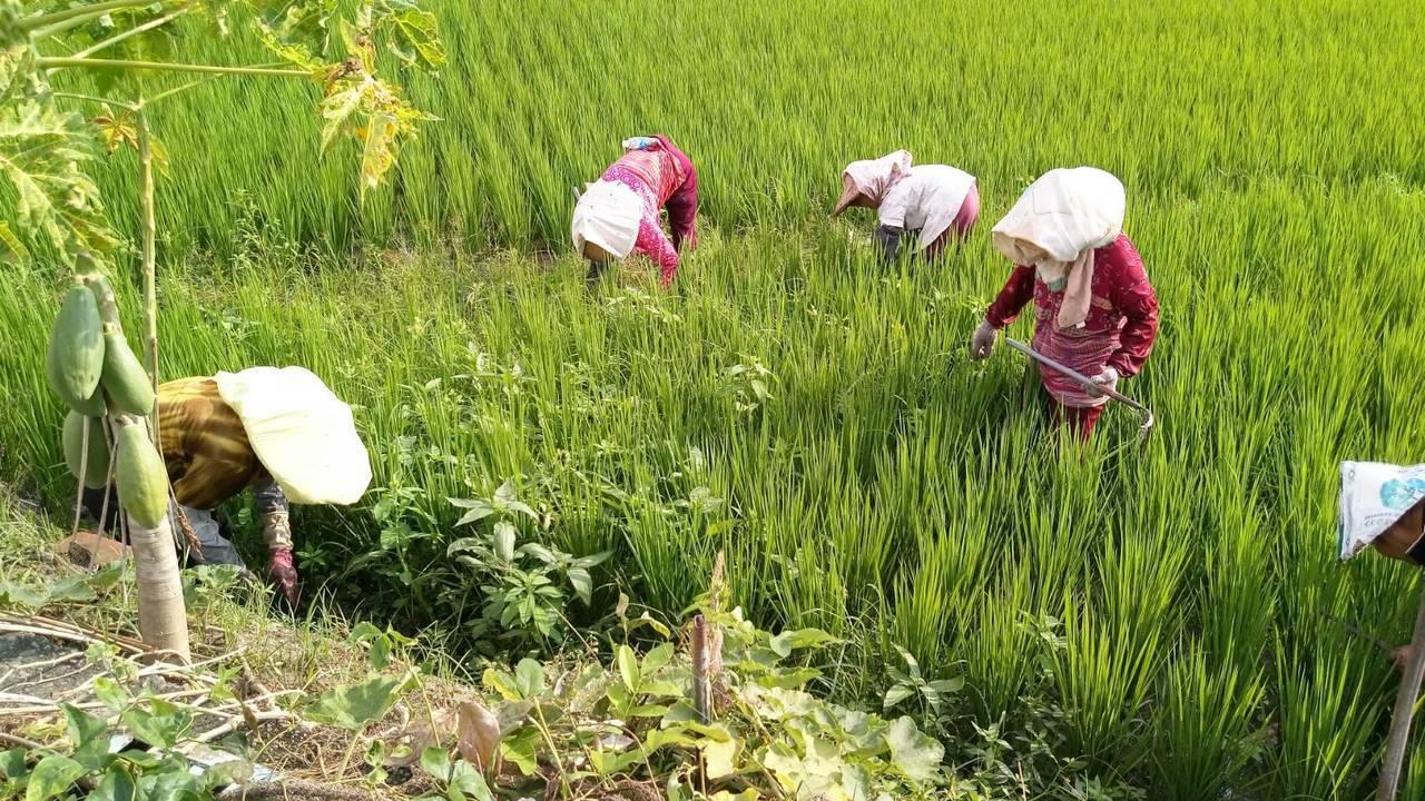 議員批稻農辛苦一年,收入比外勞低。圖/吳敏濟服務處提供