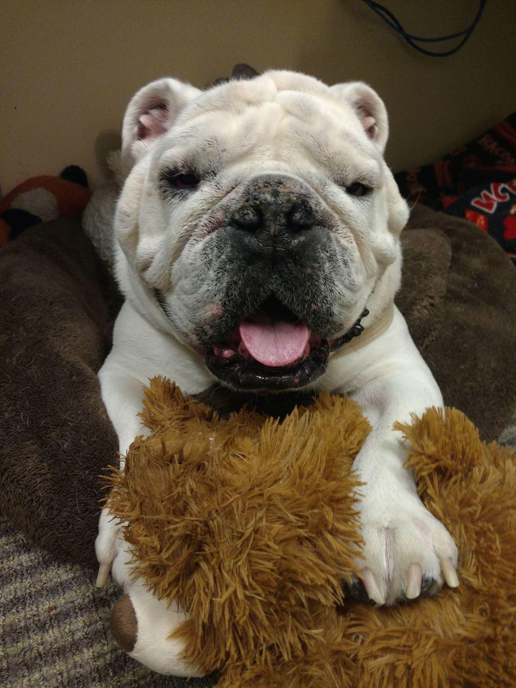布萊恩特大學校園吉祥犬「鐵甲塔伯一世」。取自Bryant University ...