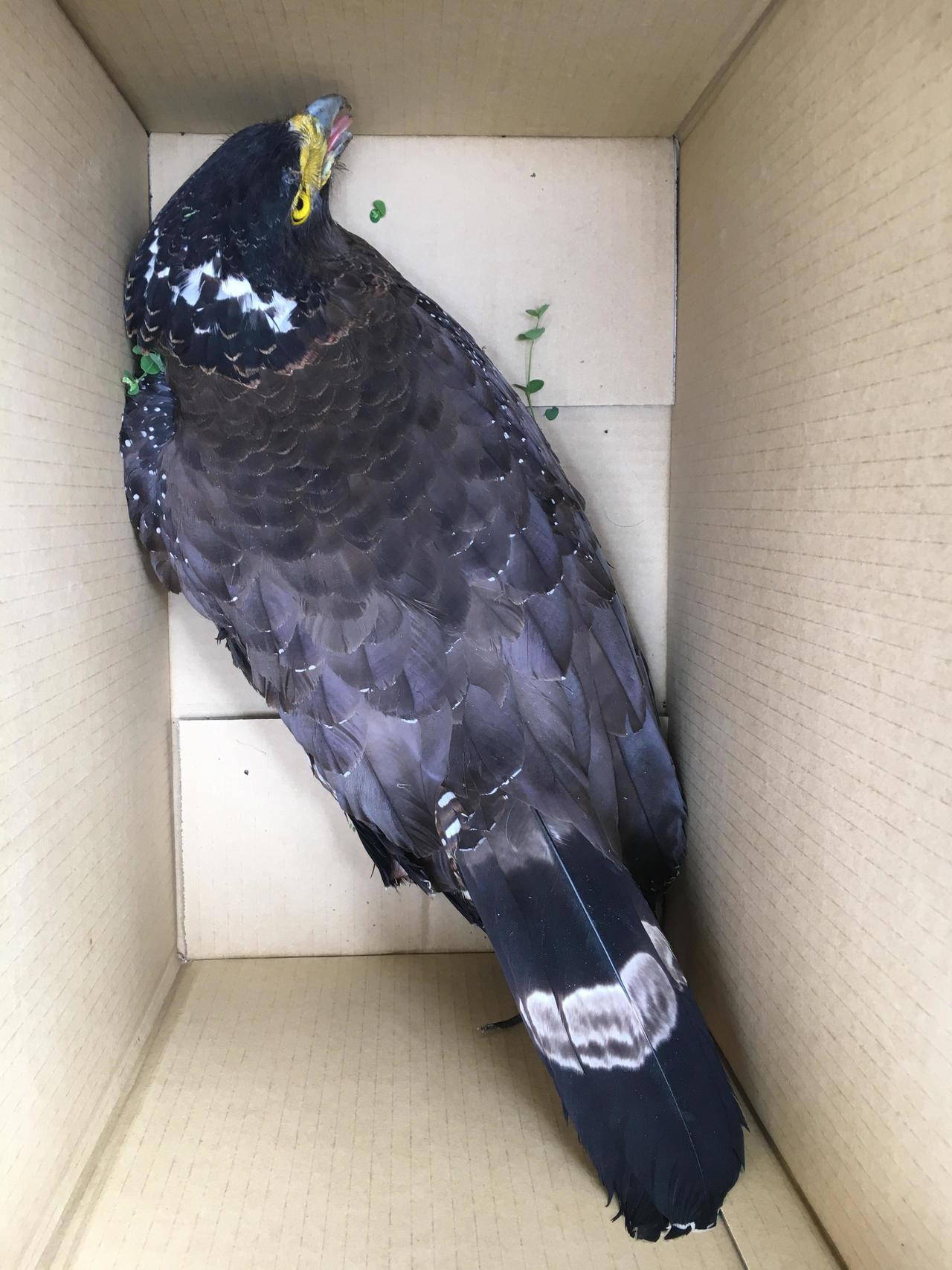 受傷的大冠鷲經眾人合力援救才順利移置至大紙箱,送往野生動物急救站救治後無礙。圖/...