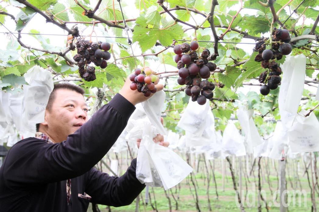 大村葡萄農賴昶睿說,今年10月的一場雨下來後,他有一區2分地葡萄還來不及套袋,幾...