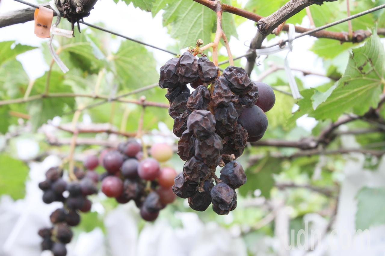 葡萄染上晚腐病後就枯掉、爛掉。記者林宛諭/攝影