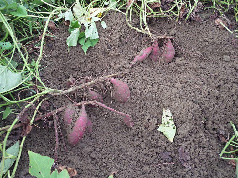 地瓜田間生育情形。圖/農糧署提供