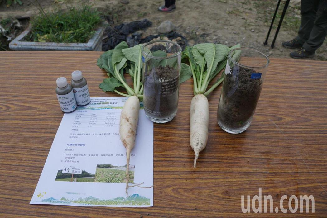 竹炭改良土質後種出來的蘿蔔(右)。記者徐白櫻/攝影