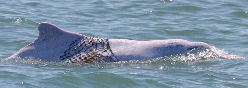 人類不斷對海洋生態造成影響,經常可見身上披掛繩子、漁網的白海豚。圖/林務局