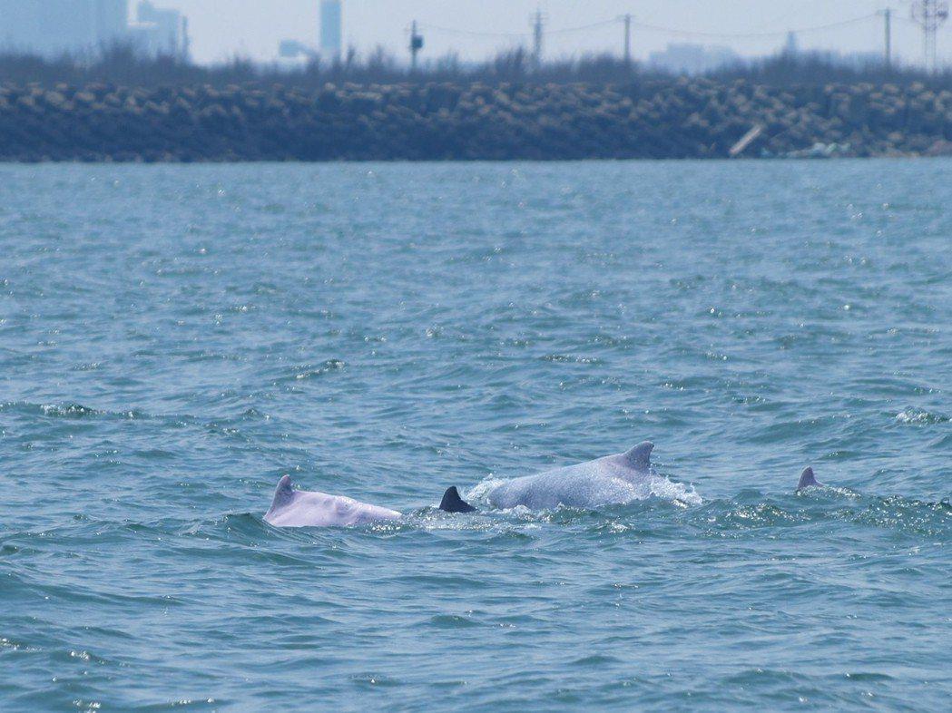台中港區外活動的中華白海豚,不遠的岸邊就是人類的煙囪水泥。圖/鯨豚協會