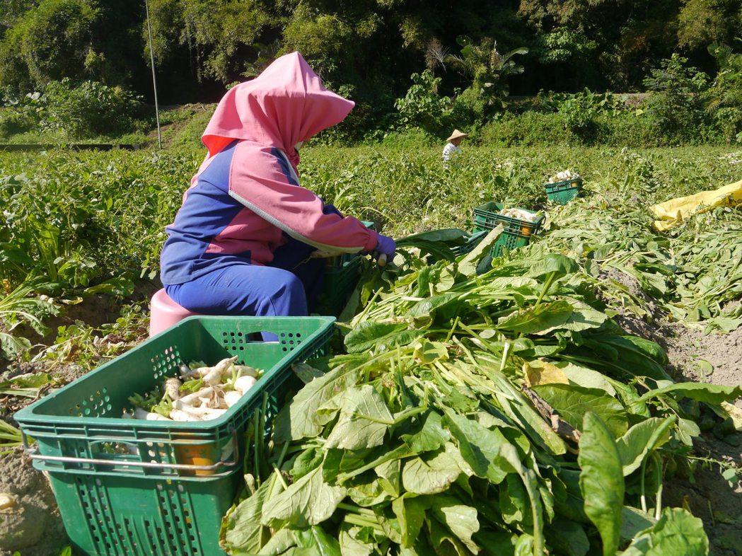 美濃推廣白玉蘿蔔種植超過10年,過去農民僅將少數蘿蔔葉留下來製作醬菜,多數當堆肥...