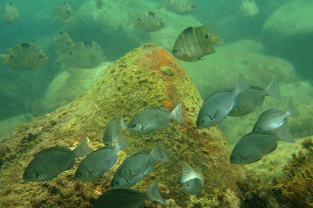 卯澳灣的沿岸巨石區發現數量不少的黑毛。圖/海洋大學提供