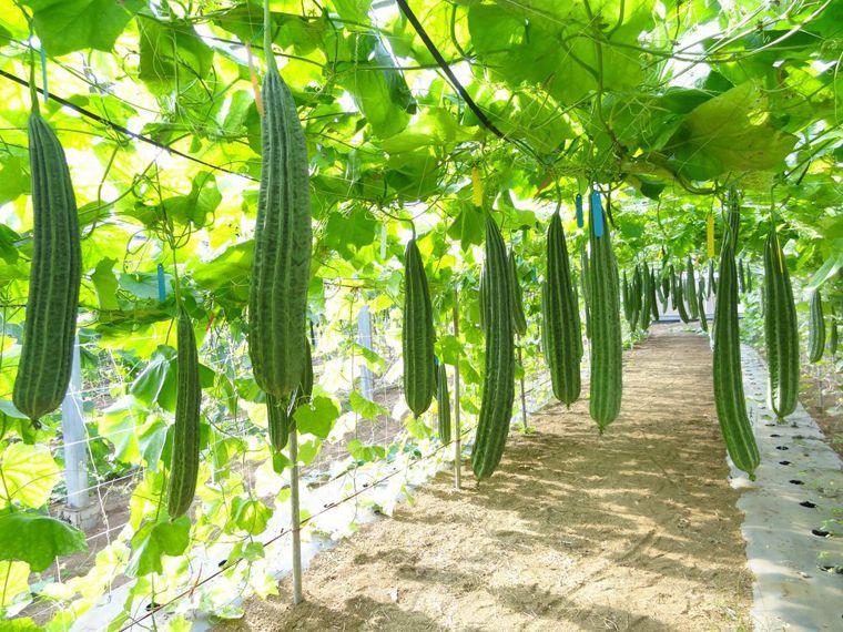 絲瓜。農委會高雄農改場/提供