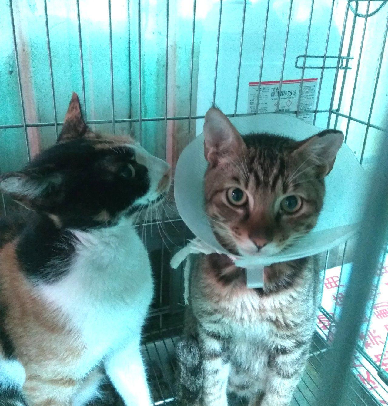 動保處將工廠內的街貓進行完結紮手術後,暫置於淡水動物之家休養。圖/新北市動保處提...