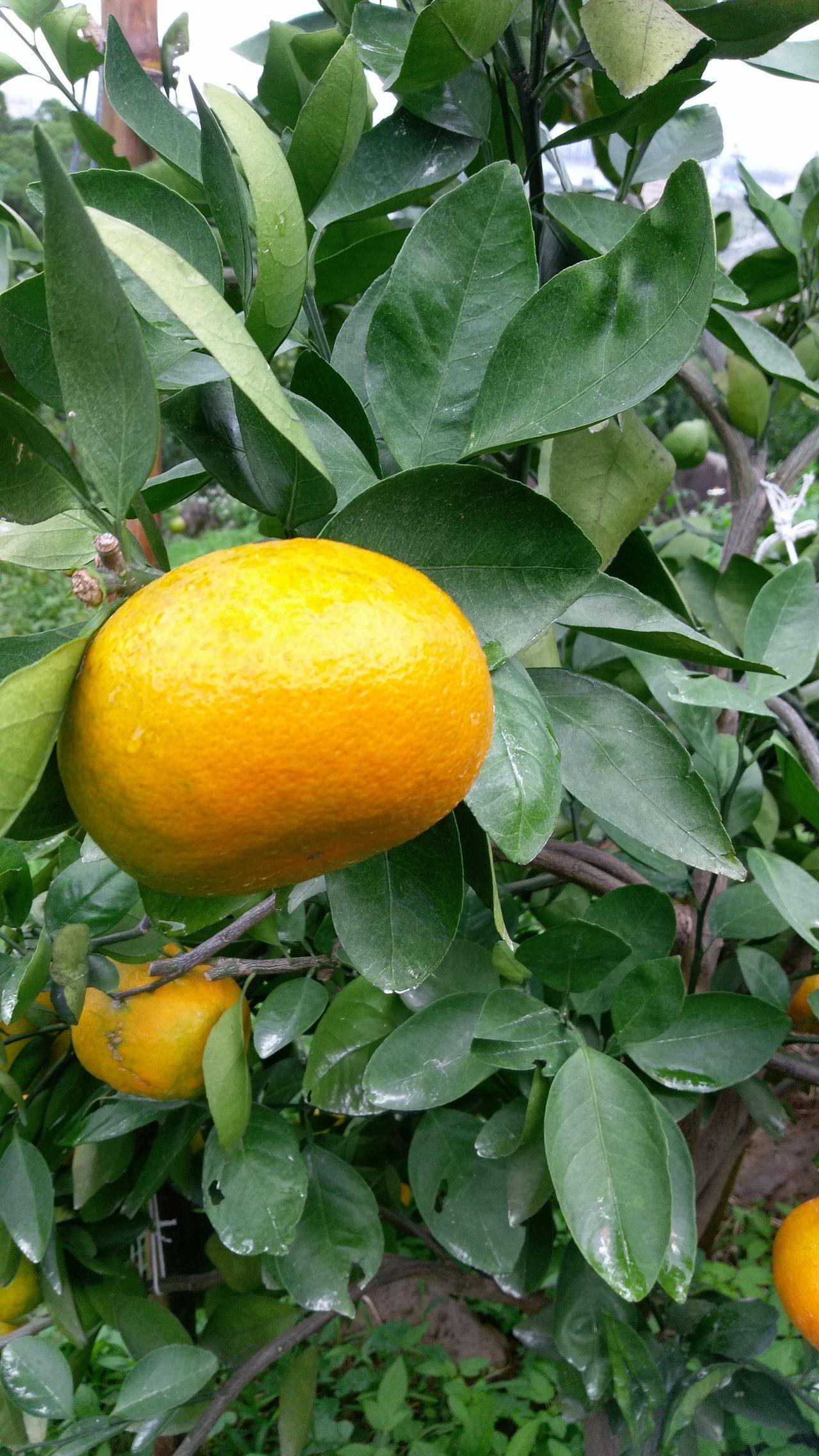 八里區柑橘品種之一天王柑。圖/新北市農業局提供